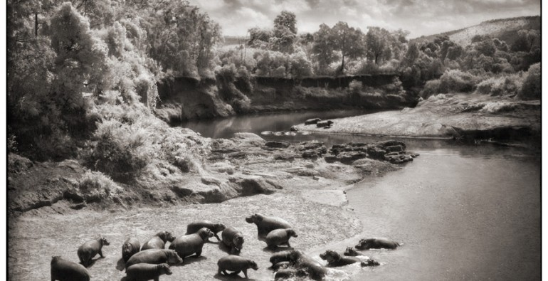 8 Hippos on Mara River
